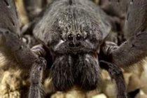 Único: científicos presencian como una zarigueya fue la cena de una araña gigante en la selva de Perú