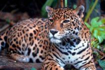 Realizan exámenes médicos de odontología a un jaguar en Zoológico de Miami
