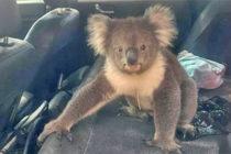 Cuando parece morir la esperanza en Australia, nace Hope la nueva Koala del Zoo de Miami