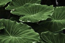 Científicos liberaron pequeños insectos con la intención de matar plantas infectadas en Florida