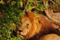 Un león intenta cazar a un joven, pero un inesperado final causa sensación en las redes