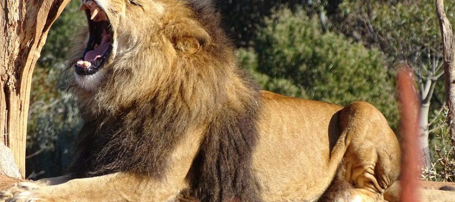 ¡Increíble! Gigantesco león aterroriza a un fotógrafo con un rugido fuerte y luego «se ríe» de él