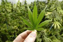 Legisladores de Florida presentan proyectos para legalizar uso recreativo de cannabis en el estado