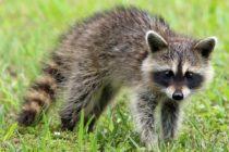 Autoridades sanitarias iniciarán campaña de vacunación contra la rabia en animales silvestres en Miami