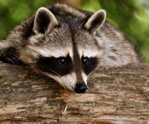 Pruebas de ADN revelan que el ataque animal que sufrió la mujer de Lauderhill fue de un mapache
