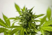 En Colorado: Detuvieron a un cubano por cultivar Marihuana en su casa