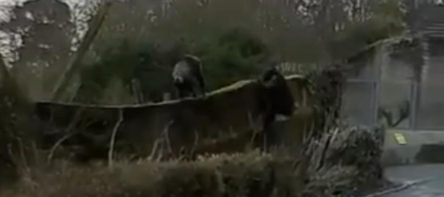 Audaz chimpancé utiliza un tronco para escapar del encierro