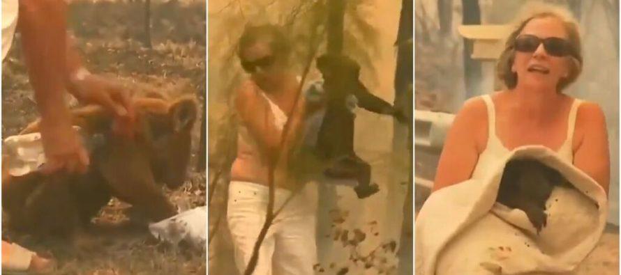 Mujer arriesga su vida para salvar a un  koala que quedó atrapado en incendio (Videos)