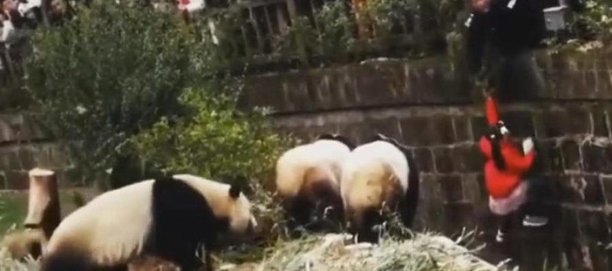 Zoológico en China: niña cae en hábitat de osos panda y es rescatada ilesa