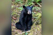 ¡Terrible! Asesinaron a oso negro por ser amigable y estar en selfies