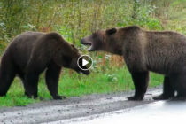 Graban pelea entre dos osos Grizzly en plena carretera de Canadá (+Video)