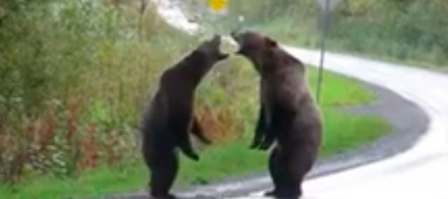 Graban pelea entre dos osos Grizzly en plena carretera de Canadá (+Video)