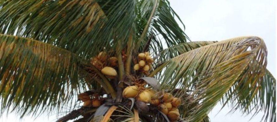 No creerá la causa de la enfermedad letal que ataca las Palmeras de Florida