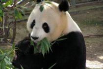 Cumpleaños de dos pandas gigantes es motivo de celebración en el zoológico de Moscú