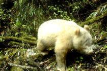 ¡Increíble! Por primera vez Panda gigante albino en China
