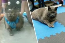 Una gata llamado «Cinderblock» se gana el corazón de todos con su particular manera de ejercitarse