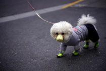 Murió perro de Hong Kong que dio positivo en coronavirus