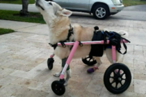 Confirman la muerte de un perro discapacitado que desapareció el jueves