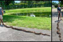 Capturan una pitón de más de 5 metros en los pantanos de Florida