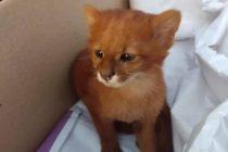 Rescató a un gatito de la calle…¡Y resultó ser un Puma! +Fotos