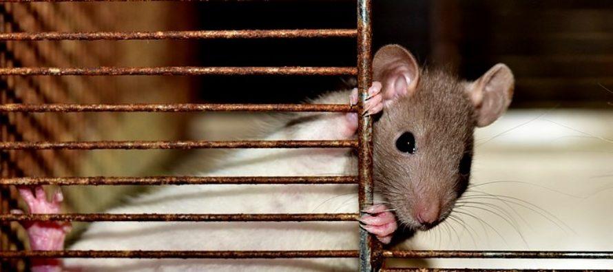 ¡Susto! Una rata hace de las suyas y acapara la atención de espectadores en sala de cine de Florida