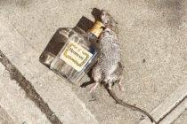 Encuentran una rata inconsciente abrazada a botella de alcohol