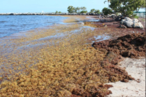 ¡Cuidado en las playas! Temible sargazo invade costas de Florida