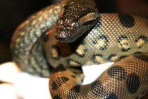 Viajero llevó serpiente en su maleta desde Florida hasta Hawai