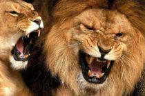 ¡Increíble! un hombre enfrenta a dos leones y los controla con su mano