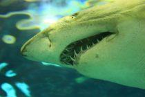 Registran el instante en que un tiburón blanco nada de espaldas y muestra todos sus dientes
