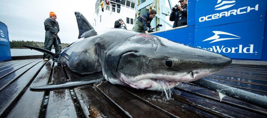 ¡Increíble! Vimy el gran tiburón blanco que tiene mordida de un predador más grande