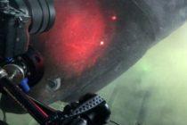 Descubra los tiburones de las profundidades que científicos etiquetan con submarinos (Video)