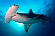 Mira como un tiburón martillo arrancó violentamente pesca de un hombre en Florida (Video)
