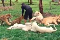 Un hombre se salvó de morir en las garras de un leopardo por un tigre que cuidó desde pequeño (video)