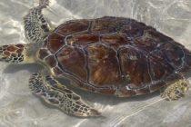 Dos hombres en Florida fueron arrestados por traficar unas 4.000 tortugas