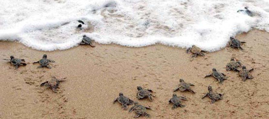 ¡Atención! Evite ser arrestado conozca que hacer cuando encuentre nidos de tortugas