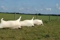 Video muestra como 23 vacas murieron por impacto de rayo sobre cerco eléctrico en Texas