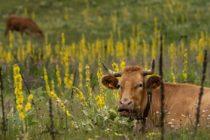 Tres vacas que fueron arrastradas por el huracán Dorian aparecen sanas y salvas en Carolina del Norte