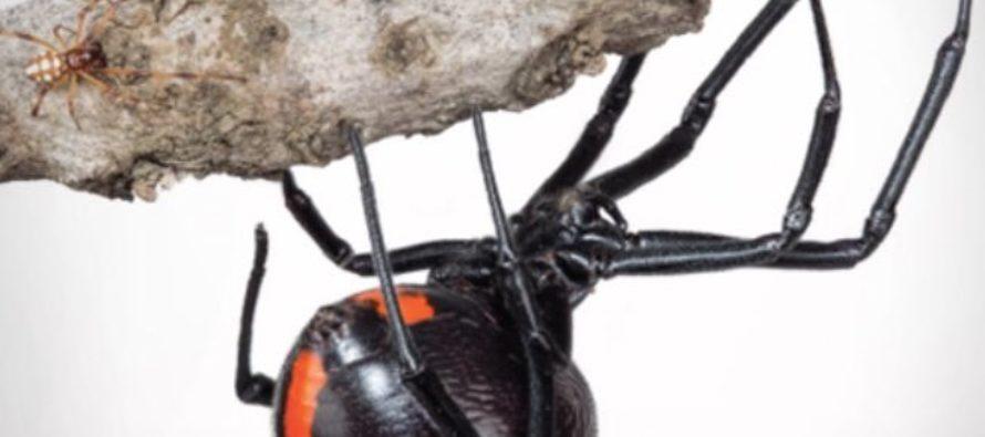 ¡Alerta! La araña más peligrosa del mundo fue descubierta en Sudáfrica