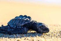 8,000 nidos de tortugas marinas fueron lavados por Dorian en Florida