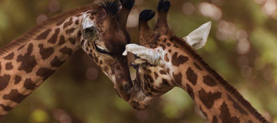 Confirmaron la muerte de dos jirafas en el Lion Country Safari por impacto de un rayo